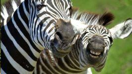 Ржущая зебра