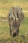 Пасущаяся зебра