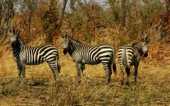 Дикие зебры