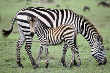 Зебра и ее жеребенок обои
