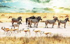 Зебры, гну и спрингбоки