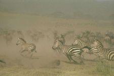 Бегущие зебры и антилопы гну