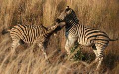 Играющие жеребята зебры