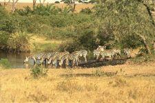 Где живут зебры? В Африке