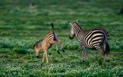 Детеныш зебры обои