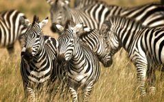 Скорость зебры