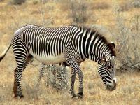 Окраска зебры обои
