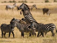 Как выглядит зебра?