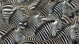 Зебра семейство
