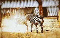 Зебра непарнокопытное обои
