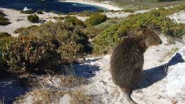 Квокка, короткохвостый кенгуру (Setonix brachyurus)