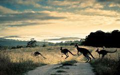 Кенгуру, перебегающие дорогу