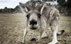 Любопытный кенгуру