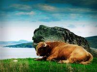 Шотландский высокогорный бык