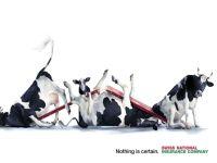 Смешные коровы,  фотография  обои