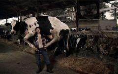 Мужчина несет на плечах корову