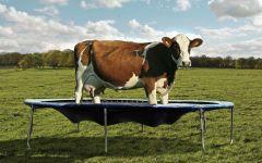 Корова на батуте