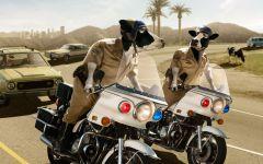 Коровы-полицейские на мотоциклах