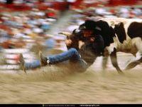 Ковбой пытается завалить быка