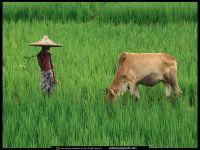 Мальчик и зебу на рисовом поле
