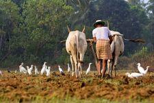 Зебу и белые цапли на поле