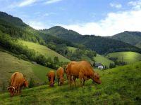 Молочные коровы, обои фотография  фото