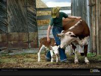Ковбой, корова и теленок