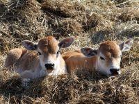 Два теленка