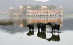 Черные коровы и затопленное здание