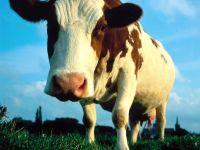 Что даёт корова?, фотография фото  обои