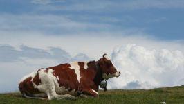 Сколько корова дает молока?