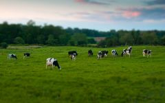Жизнь коровы