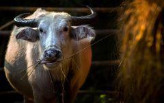 Сколько съедает корова?
