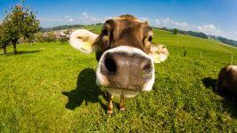Шла корова обои