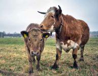Продуктивность коров