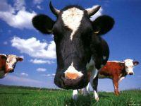 Корова пестрая