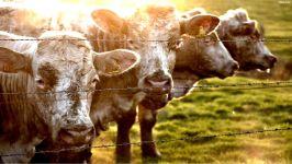 Корова в домашних условиях
