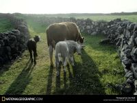 Сколько растет корова? обои