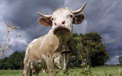 Племенные коровы