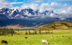 Стадо коров, пасущееся у подножия гор, фото обои фотография