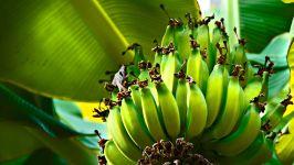 Зеленые бананы
