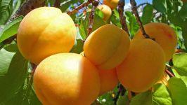 Плоды абрикоса, фото обои фотография
