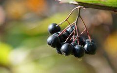 Черноплодная рябина, фото обои фотография