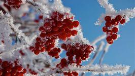 Ягоды рябины под снегом фото