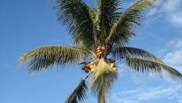 Кокосовая пальма (Cocos nucifera) фото