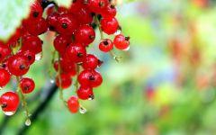 Красная смородина в капельках росы