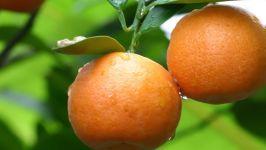 Свежие мандарины фотография