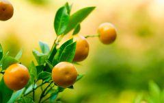 Сочный мандарин