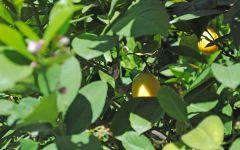 Домашние лимоны