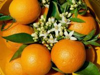 Апельсины на ветке, обои фото фотография